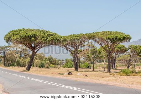 Pine Trees Near Somerset West