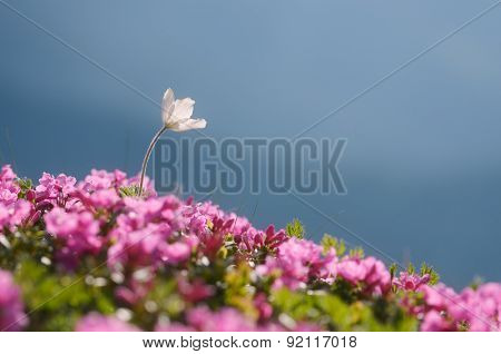 Blooming Rhododendron and Anemone patens