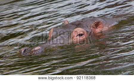 Hippo Face In The Water