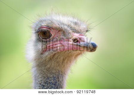 head of the ostrich closeup