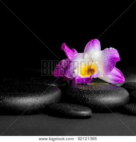 Spa Concept Of Purple Orchid Dendrobium With Dew On Black Zen Stones Background, Closeup