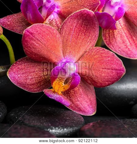 Beautiful Spa Still Life Of Blooming Twig Red Orchid Flower, Phalaenopsis With Water Drops On Zen Ba