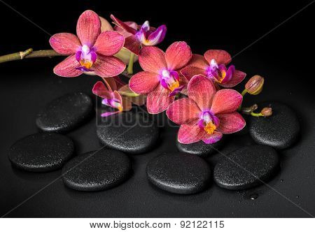 Beautiful Spa Concept Of Blooming Twig Red Orchid Flower, Phalaenopsis With Water Drops On Zen Basal