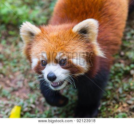 Amazing orange panda