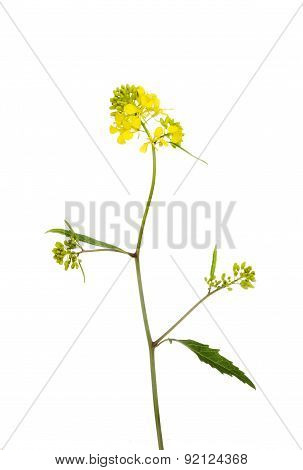 Rapeseed Plant