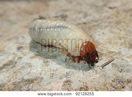 Big white larva on cement