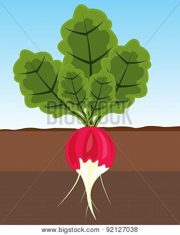 Vegetable radish in land