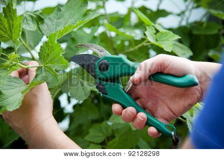 Woman With Hand Pruners In Her Hand