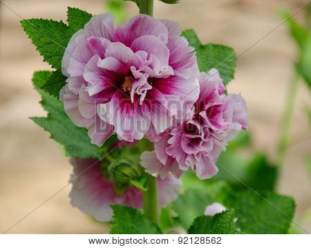 Two toned Hollyhocks