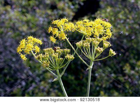 Flowering Fennel (lat. Foeniculum )