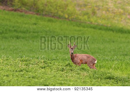 Beautiful Roe Deer Buck Grazing In Alfalfa Field