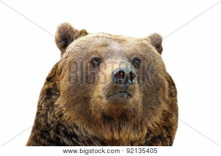 Brown Bear Isolated Portrait