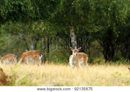 Fallow Deer Doe In A Clearing