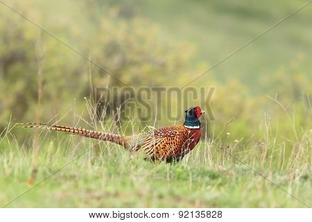 Male Pheasant In Green Grass
