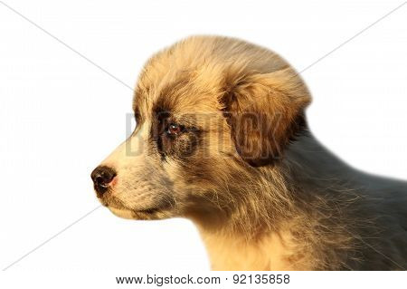 Romanian Shepherd Puppy Over White