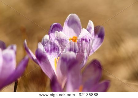 Spring Purple Crocuses