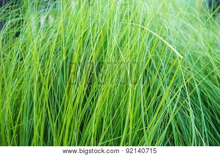 Texture Of Long Grass Growing In Meadow