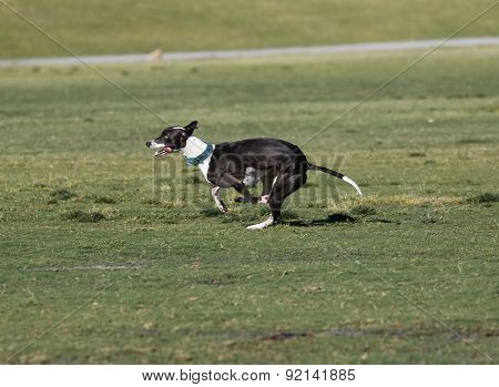 Dog on oval lure course racing