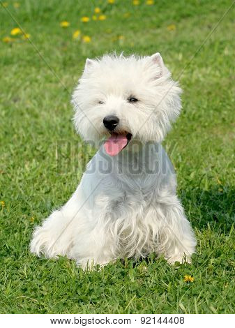 Typical West Highland White Terrier In The Garden