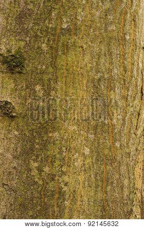 Hornbeam Bark Texture Background