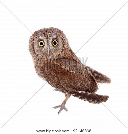 The European scops owl on white