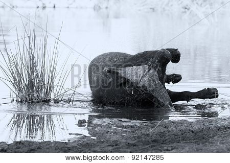 Tired Cape Buffalo Bull Rolling In Water Pond To Cool Down Artistic Conversion