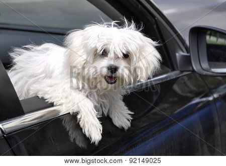 vygllyadyvayuschaya maltese dog from a car window