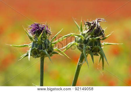 Carduus Flower Buds On Poppy Field