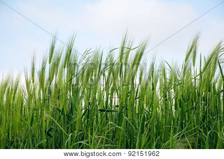 Green Spikes In A Barley Field Against The Sky