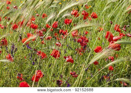 Common Poppy Flowers, Papaver Rhoeas