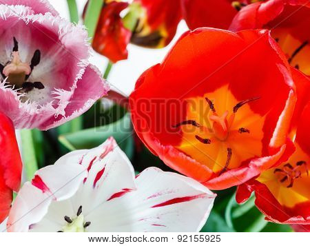 Fresh Red, White, Pink Tulip Flowers In Bouquet