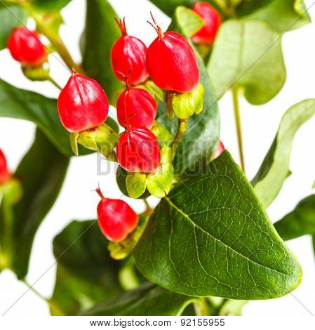 Red Fruits Of Hypericum Plant