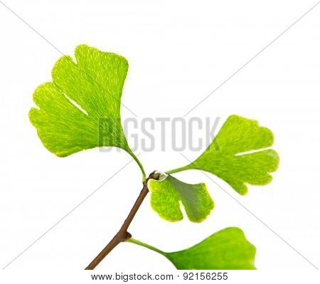 Ginkgo biloba tree branch, close-up.