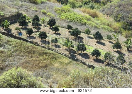 An Orchard In Firgas, Gran Canaria