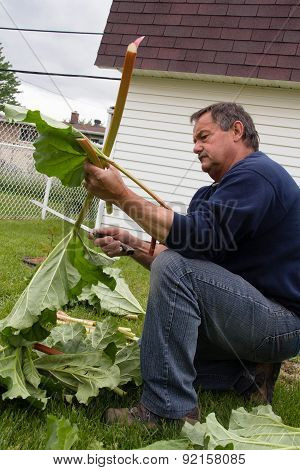 senior man cutting harvested rhubarb stalk outdoor