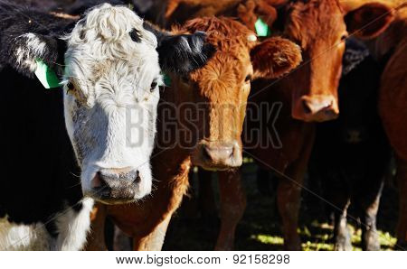 Livestock farm, herd of cows