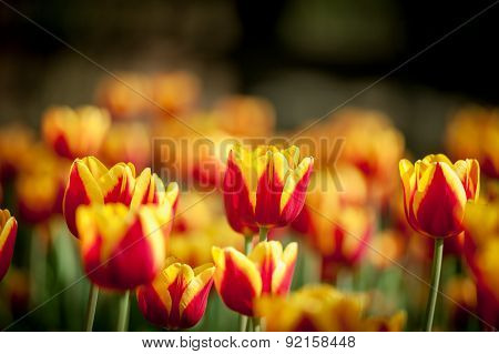 Red With Yellow Edges On Petals Tulips On Dark Background