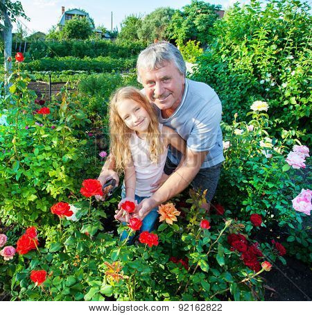 Mature man with child caring for roses in the garden