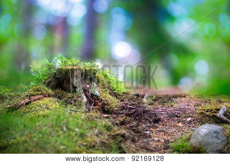 Tree Stump In Scandinavian Forest