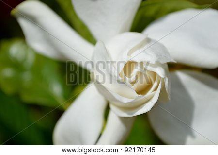 Sunny Gardenia Bloom