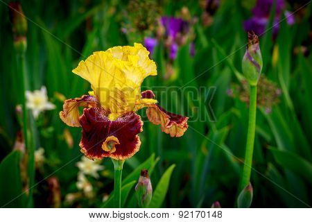 Bearded Iris Flower