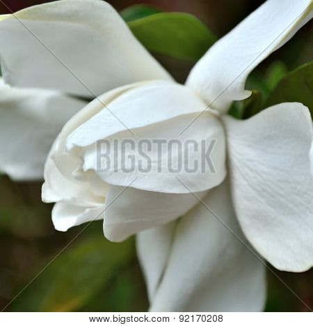 Square Gardenia Image In Color