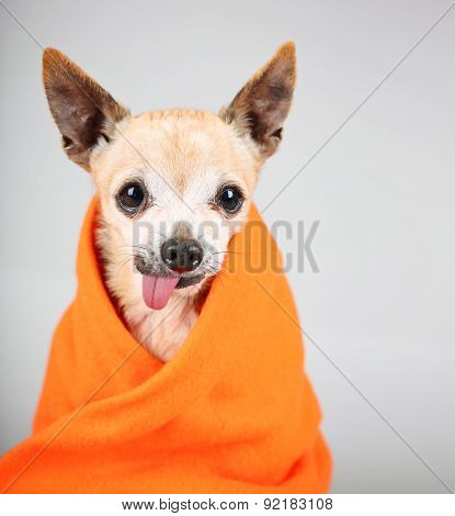 a cute chihuahua with his tongue hanging out and a blanket wrapped around him isolated on a gray background in the studio