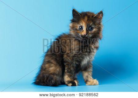 Cute Tortie Kitten Sits On Blue Background