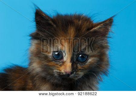 Closeup Cute Tortie Kitten On Blue