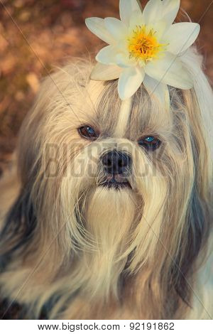 Shih tzu dog with lily flower portrait.