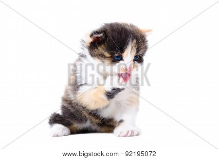Tricolor kitten licking its paw