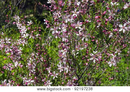Flowering Bush Of Almond Steppe.