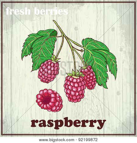 Hand drawing illustration of raspberry. Fresh berries sketch background