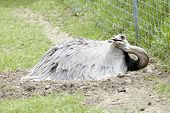 picture of bird fence  - A male rhea bird laying on a nest of eggs on the ground by a chain link fence - JPG
